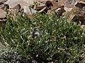 Sticky oxytrope, Oxytropis borealis var. viscida (24277255456).jpg