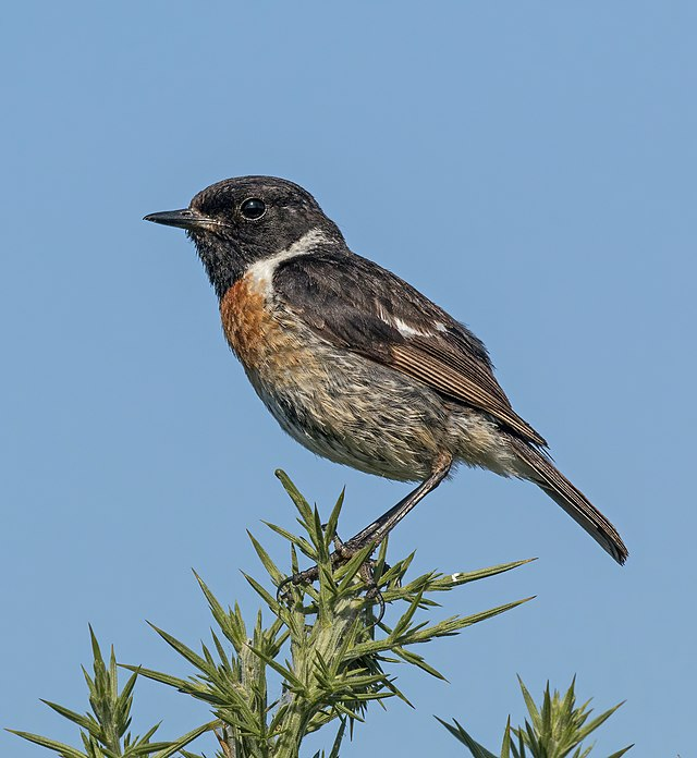 https://upload.wikimedia.org/wikipedia/commons/thumb/d/d7/Stonechat_%28Saxicola_rubicola%29_male%2C_Beaulieu%2C_Hampshire.jpg/640px-Stonechat_%28Saxicola_rubicola%29_male%2C_Beaulieu%2C_Hampshire.jpg