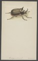 Strategus - Print - Iconographia Zoologica - Special Collections University of Amsterdam - UBAINV0274 001 06 0030.tif
