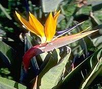 Strelitzia reginae from Kedumim 132.jpg