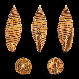 <i>Strigatella vexillum</i> species of mollusc
