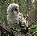 Strix uralensis-chick.jpg