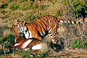 Südchinesischer Tiger mit Beute