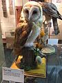 Stuffed barn owl, Hereford Museum and Art Gallery - DSCF1950.JPG