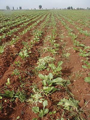 Doukkala - Image: Sugar beets thinning