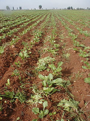 sugar beets thinning (Sidi Smaïl, Morocco, 2007).