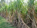 Sugarcane in Hoshiarpur.jpg