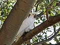 Sulphur-crested Cockatoo - Flickr - GregTheBusker (1).jpg