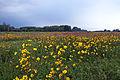 Sunflower Meadow (14541627110).jpg