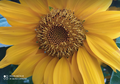 Sunflower close-up.png
