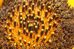 Sunflower macro wide.jpg
