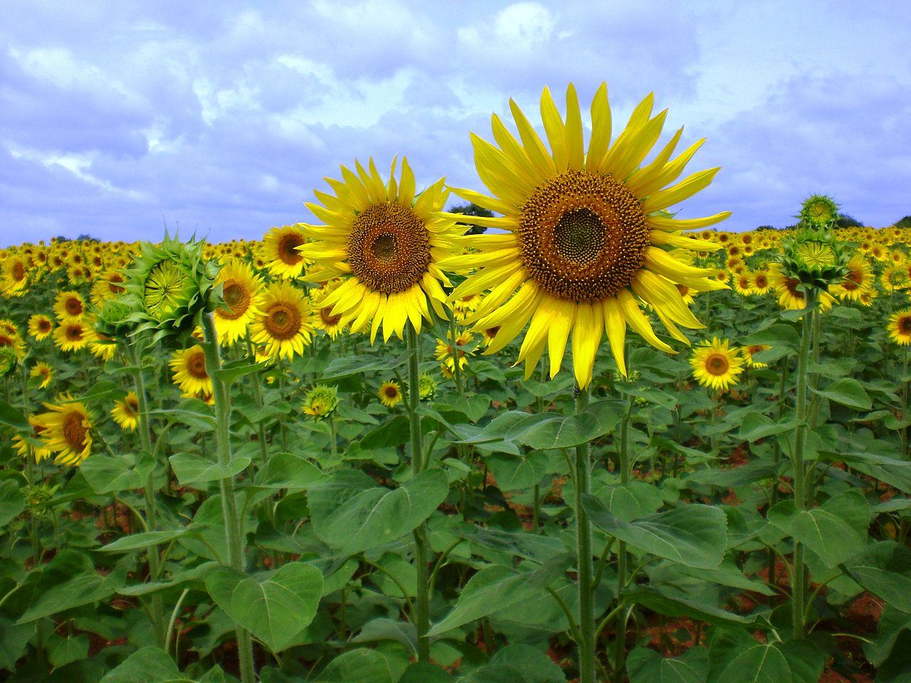 File:Sunflower near Raichur, India.JPG - Wikimedia Commons