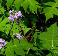 Swallow Tail ButterflyRed Hill Valley 2.jpg