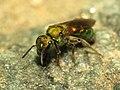 Sweat Bee (14216534527).jpg