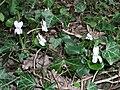 Sweet Violets near Mill Bridge - geograph.org.uk - 393815.jpg