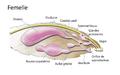 Système reproductif femelle papillon.png