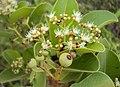 Syzygium caryophyllatum 06.JPG