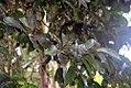 Syzygium malaccense 15zz.jpg