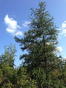 Tamarack tree at the Kent Bog.