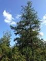 Tamarack tree at Kent Bog.jpg