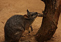 Tammar Wallaby.jpg