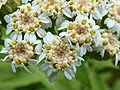 Tanacetum macrophyllum (Compositae) flowers.JPG