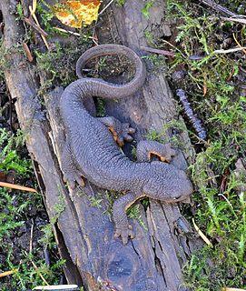 Rough-skinned newt species of amphibian