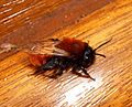 Tawny Mining Bee (Andrena fulva) female - Flickr - gailhampshire.jpg