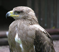 Tawny eagle in closeup arp.jpg