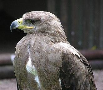 Tawny eagle - Image: Tawny eagle in closeup arp