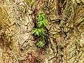 Taxus uitgezaaid in een knotwilg. 28-07-2019. (d.j.b). 03.jpg