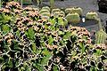 Teguise Guatiza - Jardin - Euphorbia grandicornis 03 ies.jpg