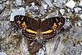Telenassa berenice berenice (Nymphalidae- Argynninae- Melitaeini) (29937532284).jpg