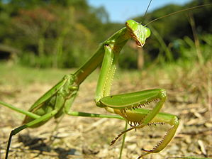 Tenodera aridifolia - Wikipedia, the free encyclopedia