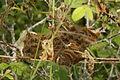 Tent moth caterpillar clump (7155149365).jpg