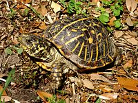 An ornate box turtle with a slightly dirty carapace raising its head.