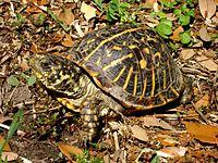 Una tortuga de caja adornada con un caparazón ligeramente sucio levantando la cabeza.