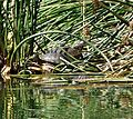 Terrapins - Flickr - gailhampshire.jpg