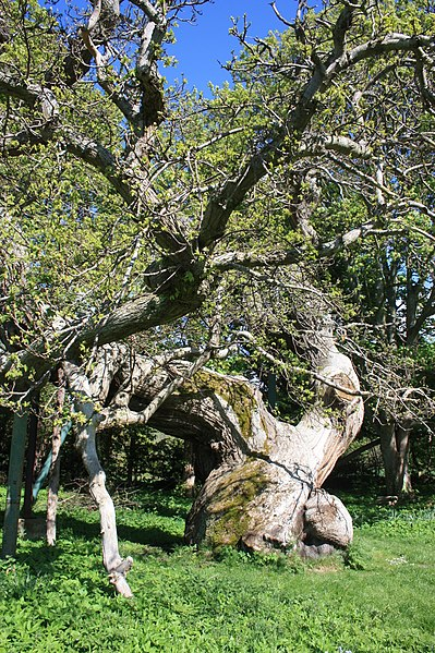 File:The 450 year old Spanish Chestnut tree at Balmerino in Fife.jpg