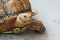 The African Spurred Tortoise, The Live Turtle & Tortoise Museum, Chinese Garden, Singapore (3775052714).jpg