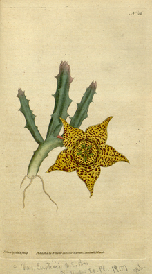 The Botanical Magazine, Plate 26 (Volume 1, 1787).png