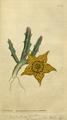 The Botanical Magazine, Plate 26 (Volume 1, 1787).png
