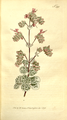 The Botanical Magazine, Plate 298 (Volume 9, 1795).png