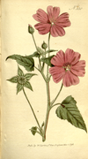 The Botanical Magazine, Plate 330 (Volume 10, 1796).png