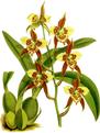 The Orchid Album-02-0015-0052-Odontoglossum maculatum-crop.png