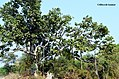 The bannyon tree.jpg