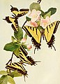The butterfly book; a popular guide to a knowledge of the butterflies of North America (1914) (20486109296).jpg