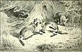 The fox (1906) (14783839672).jpg