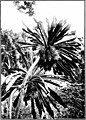 The indigenous trees of the Hawaiian Islands (1913) (20538149488).jpg