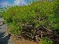 Thevetia peruviana 01.JPG